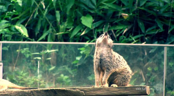 (動画あり)ミーアキャット 千葉市動物公園 _c0222817_13202461.png