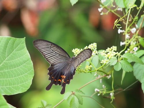 久しぶりに地元の蝶と遊ぶ_e0305074_18453947.jpg