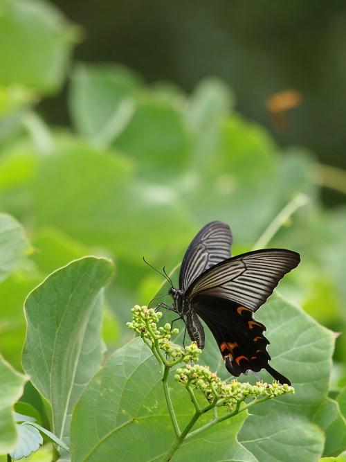 久しぶりに地元の蝶と遊ぶ_e0305074_18543914.jpg