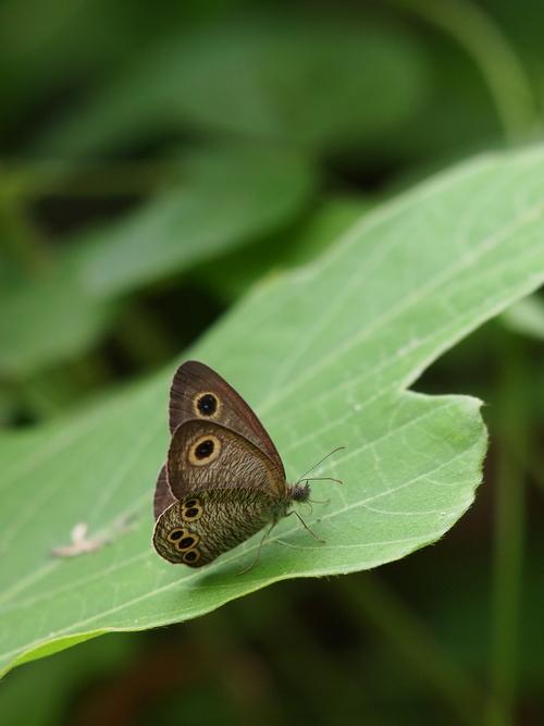 久しぶりに地元の蝶と遊ぶ_e0305074_18585270.jpg