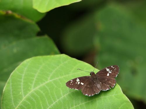 久しぶりに地元の蝶と遊ぶ_e0305074_19314044.jpg