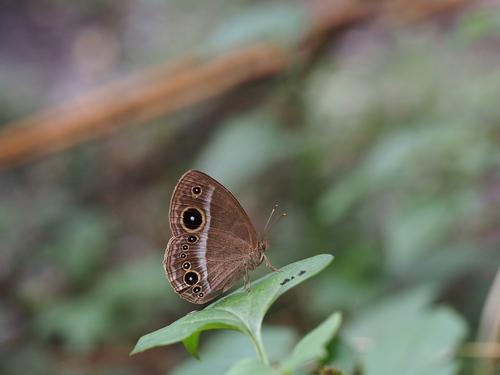 久しぶりに地元の蝶と遊ぶ_e0305074_1975955.jpg