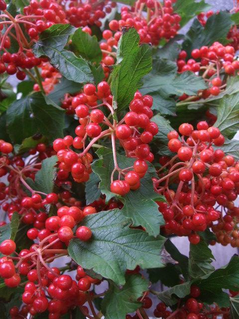 オークリーフ(赤い実、赤い花)_f0049672_15545674.jpg