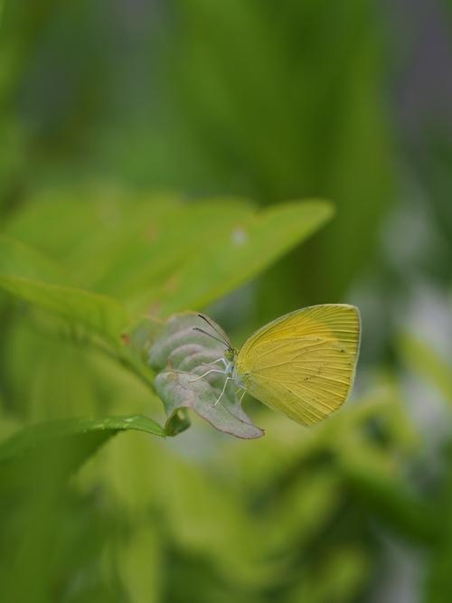 地元での蝶探し:ツマグロキチョウ_e0305074_21451220.jpg