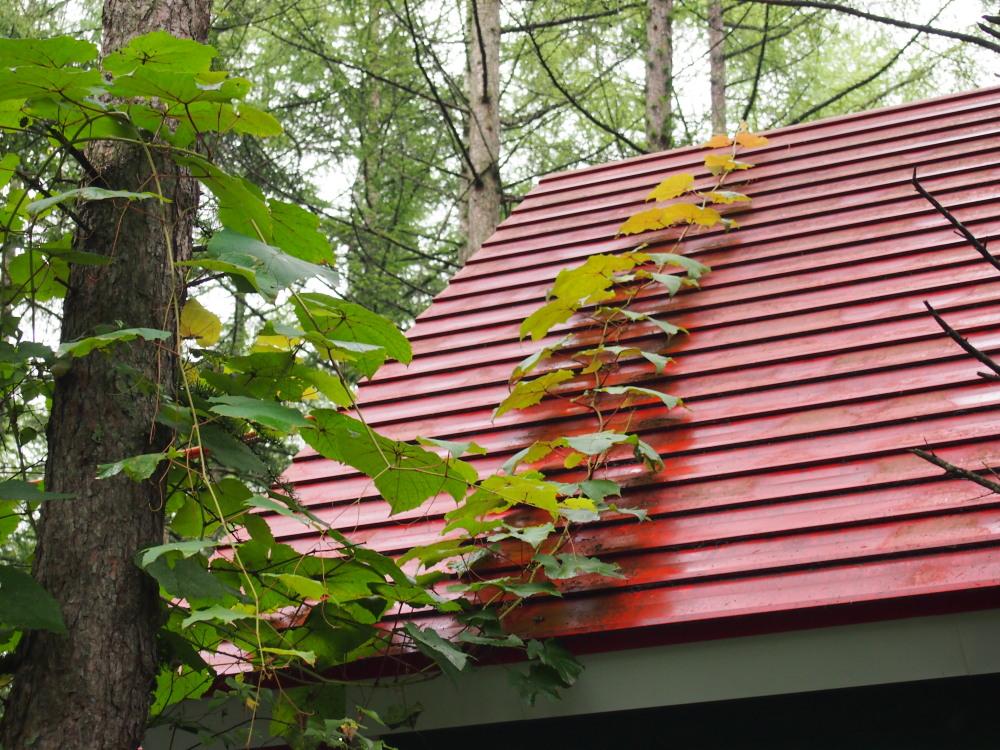 """スゴイぞ!""""やまぶどう""""・・エゾリス舎の屋根をのぼる!_f0276498_1311723.jpg"""