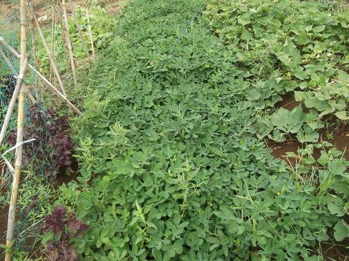 地中に育つ野菜の成長は??_b0137932_12361524.jpg