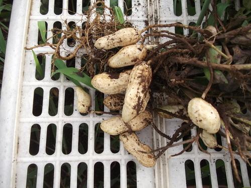 地中に育つ野菜の成長は??_b0137932_12365039.jpg