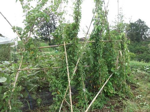 地中に育つ野菜の成長は??_b0137932_12374952.jpg