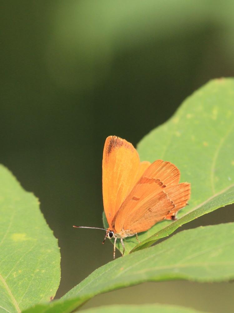 ミヤマカラスアゲハ  夏型♀雌は綺麗だ!! 2013.8.24長野県_a0146869_2104150.jpg