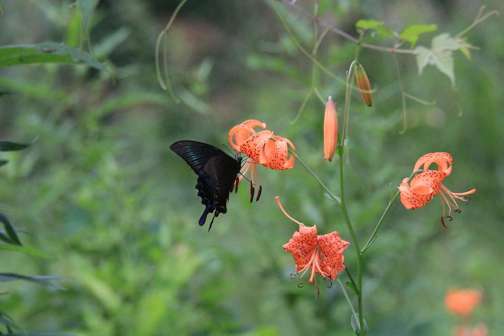 ミヤマカラスアゲハ  夏型♀雌は綺麗だ!! 2013.8.24長野県_a0146869_2195112.jpg