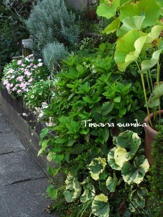 夏の終わりの花の様子_a0243064_10451234.jpg