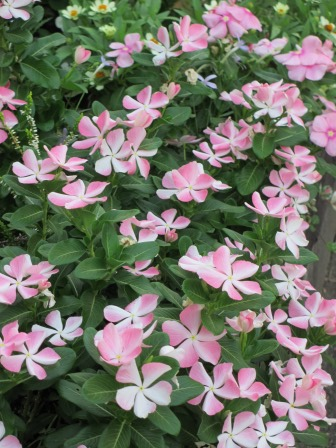 夏の終わりの花の様子_a0243064_10461917.jpg
