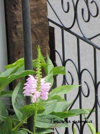 夏の終わりの花の様子_a0243064_10492647.jpg