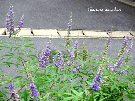夏の終わりの花の様子_a0243064_1055159.jpg
