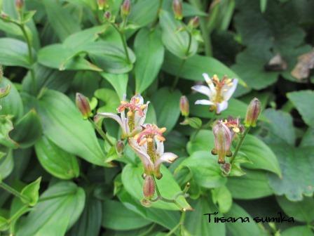 夏の終わりの花の様子_a0243064_10555073.jpg
