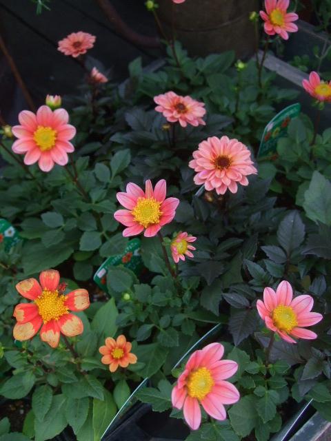 オークリーフ(山の花も・・・)_f0049672_13233437.jpg