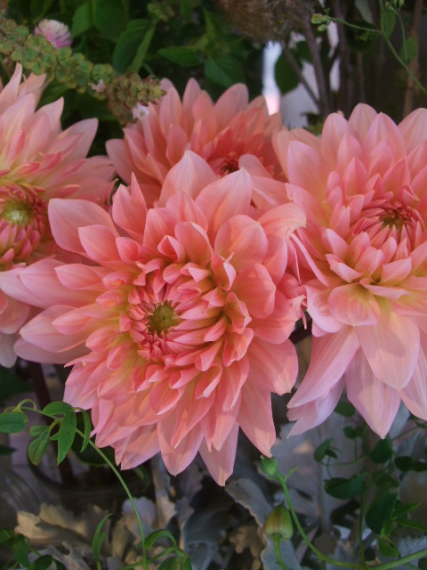 オークリーフ(山の花も・・・)_f0049672_135464.jpg