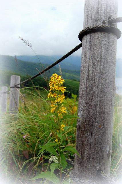 野反湖の花たち_c0057390_0265021.jpg