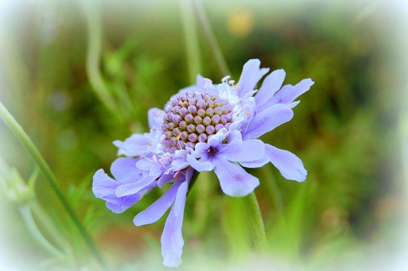 野反湖の花たち_c0057390_0272868.jpg