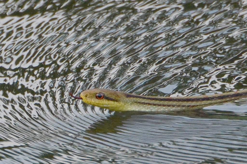 朝のカワセミ&スズメ/??/池を渡る蛇/朝焼け・夕焼け/月面_b0024798_2039229.jpg