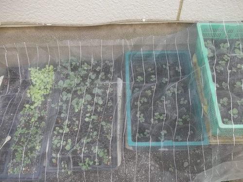 野菜苗の育成状況!...順調です!_b0137932_229715.jpg