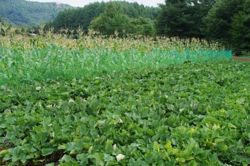 最近のサツマイモ畑とトウモロコシ_c0110869_20343092.jpg