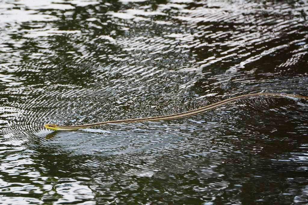 朝のカワセミ&スズメ/??/池を渡る蛇/朝焼け・夕焼け/月面_b0024798_846115.jpg