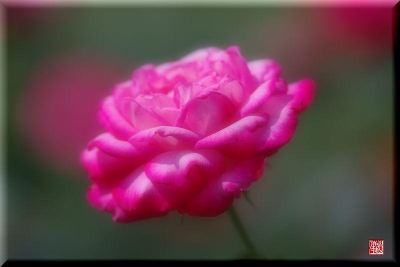薔薇.夏.ハイビスカス_a0157263_21532060.jpg