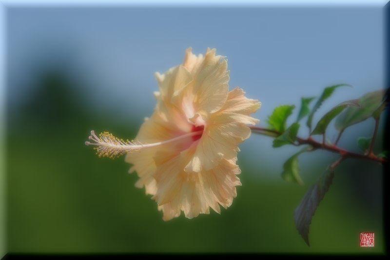 薔薇.夏.ハイビスカス_a0157263_2232421.jpg