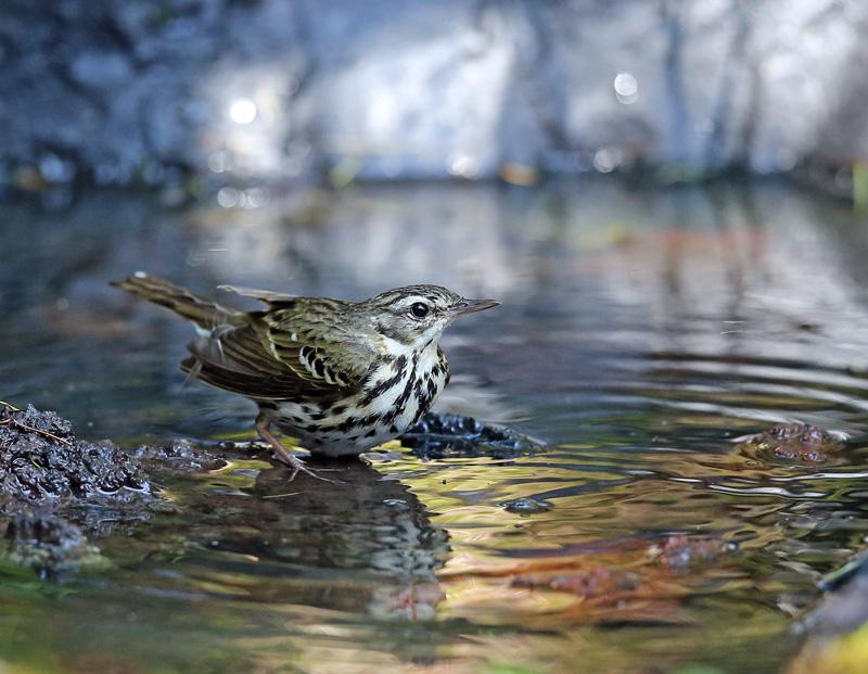 「ビンズイ」さんは水浴びです♪_d0195897_11573738.jpg