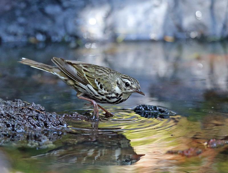 「ビンズイ」さんは水浴びです♪_d0195897_1157897.jpg