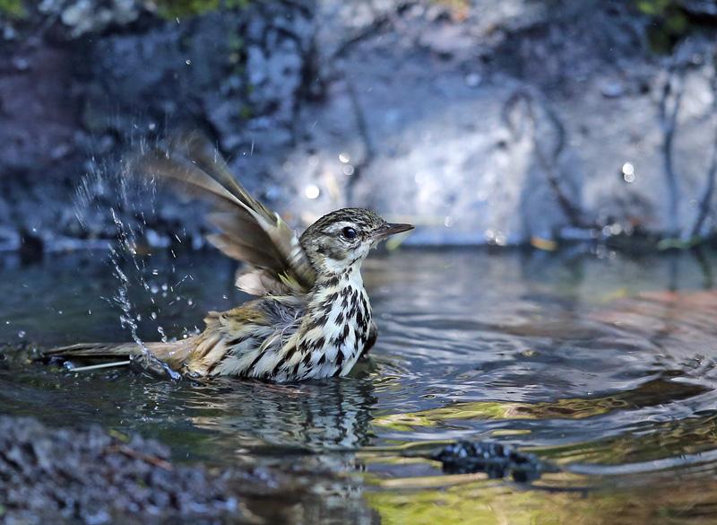 「ビンズイ」さんは水浴びです♪_d0195897_115807.jpg