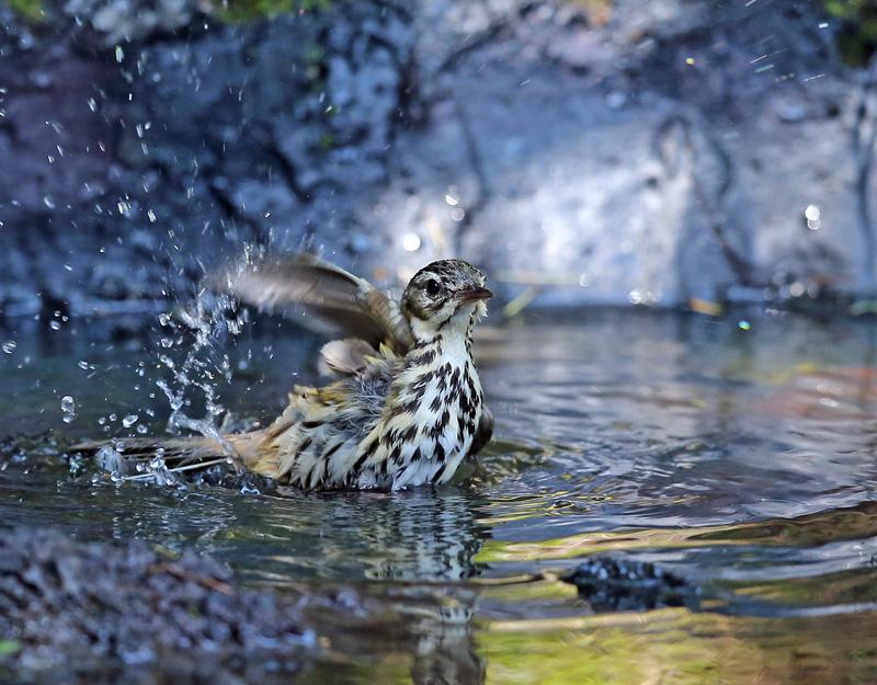 「ビンズイ」さんは水浴びです♪_d0195897_11582514.jpg
