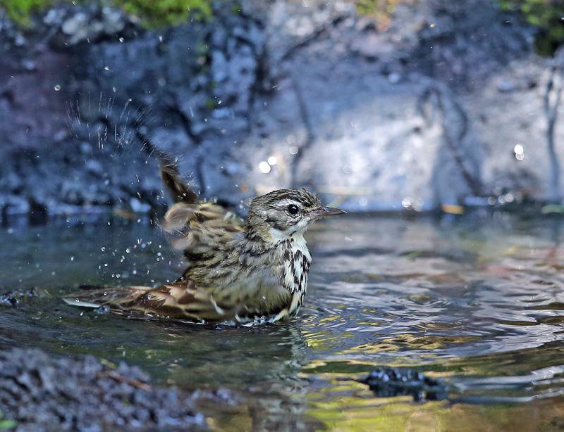 「ビンズイ」さんは水浴びです♪_d0195897_11585083.jpg