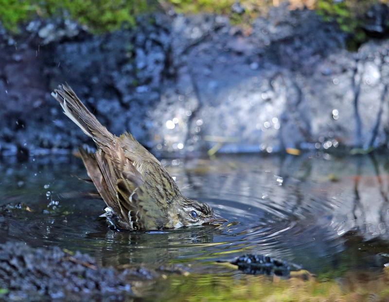 「ビンズイ」さんは水浴びです♪_d0195897_11592496.jpg