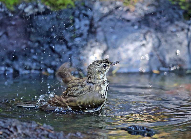 「ビンズイ」さんは水浴びです♪_d0195897_11595041.jpg