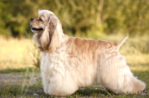 気持ちの優しい家庭犬、<b>アメリカン</b>・<b>コッカー</b>・<b>スパニエル</b> : iinu BLOG