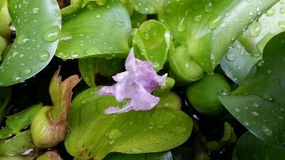 ほてい草の花。。。_e0143667_1612637.jpg