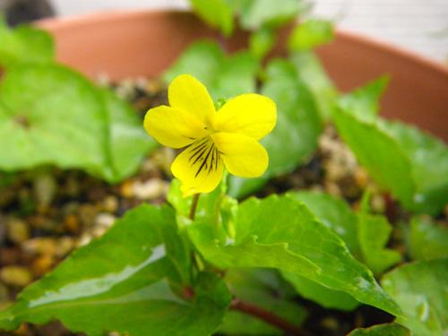 オオバキスミレ、春の種まきから開花♪_a0136293_16393183.jpg
