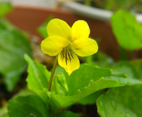 オオバキスミレ、春の種まきから開花♪_a0136293_1651842.jpg