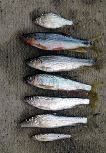 川魚!_c0081499_11374119.jpg
