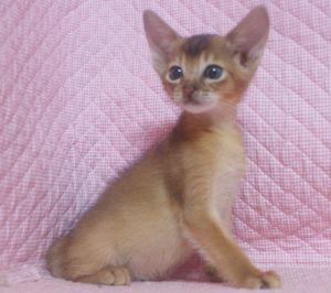 7月生まれのアビシニアン子猫ちゃん_e0033609_19425545.jpg