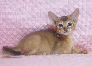 7月生まれのアビシニアン子猫ちゃん_e0033609_19431831.jpg