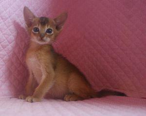 7月生まれのアビシニアン子猫ちゃん_e0033609_19435316.jpg