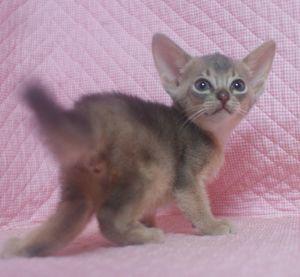 7月生まれのアビシニアン子猫ちゃん_e0033609_19451887.jpg