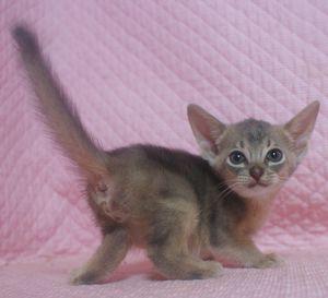 7月生まれのアビシニアン子猫ちゃん_e0033609_1945411.jpg