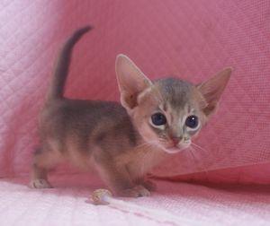 7月生まれのアビシニアン子猫ちゃん_e0033609_19472428.jpg