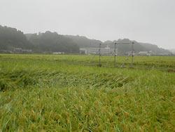 9月3日の田んぼ(緑ヶ丘小・北郷小)_d0247484_1411582.jpg