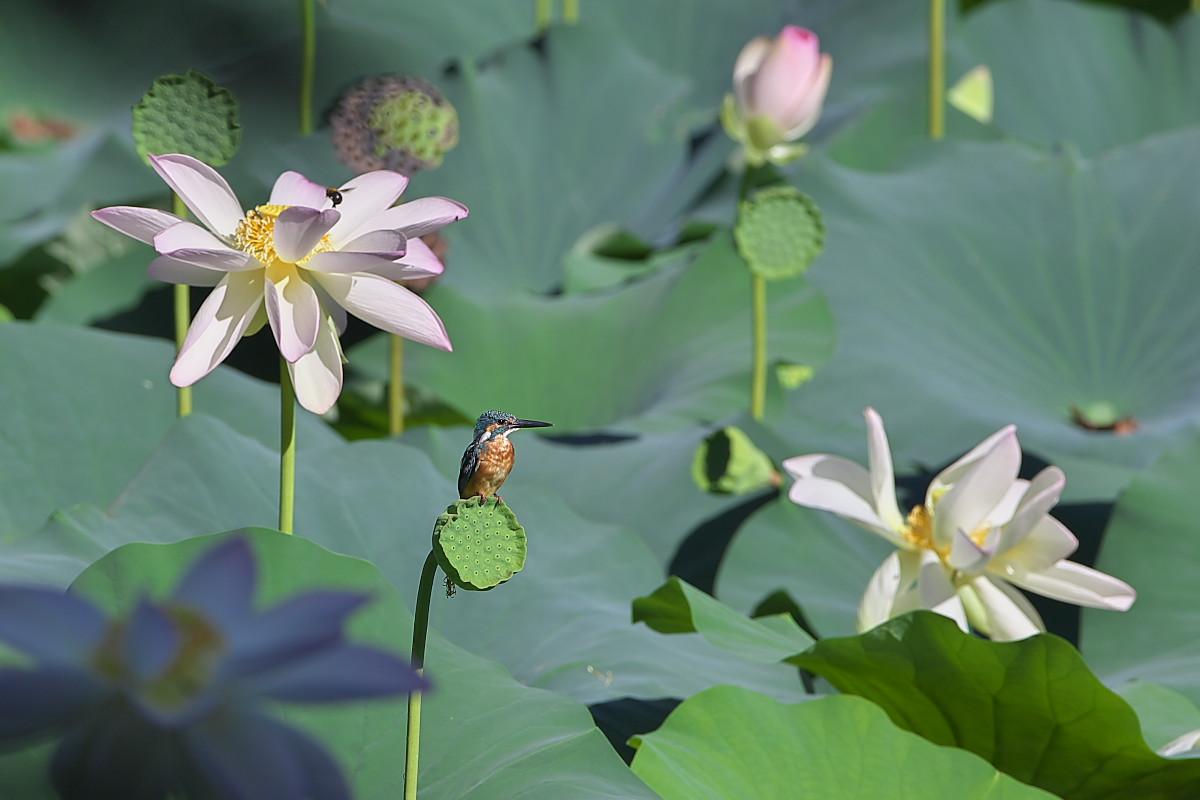 蓮池のカワセミ_d0125872_0145129.jpg