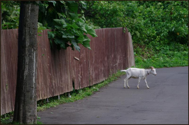 おや?道路にヤギが・・・_b0019313_18191752.jpg